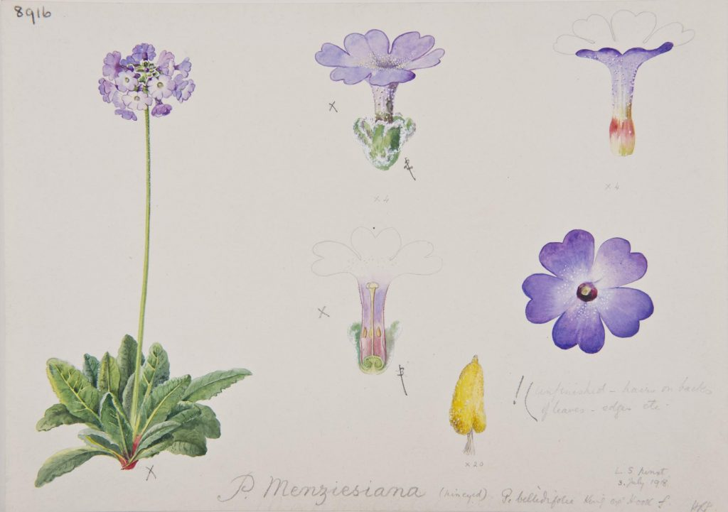 Botanical illustration of Primula menziesiana produced by Lilian Snelling at RBGE, 3rd July 1918.