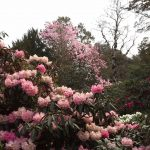 Magnolia campbelllii 'Charles Raffill'