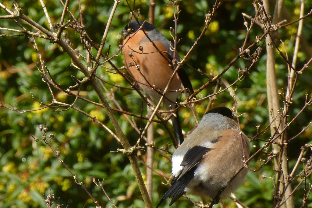 Male (top) and female (bottom) Bullfinches (Pyrrhula pyrrhula), Chinese Hillside, 31 March. Photo Robert Mill.