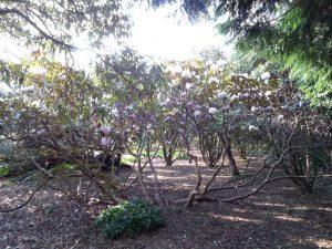 Rhododendron campanulatum 'Roland Cooper' 19170014