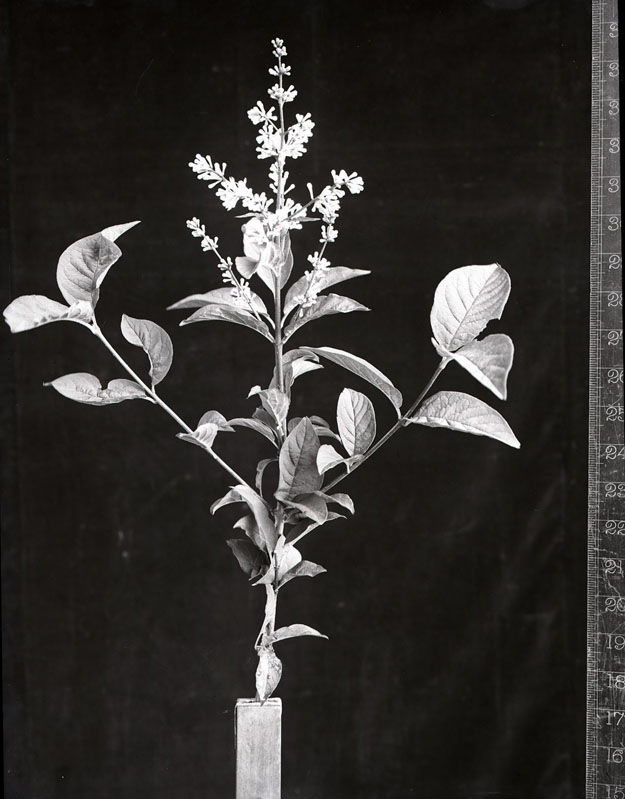 Syringa adamiana, named in honour of Pvt Thomas Adam, photographed by Robert Moyes Adam in June 1915.