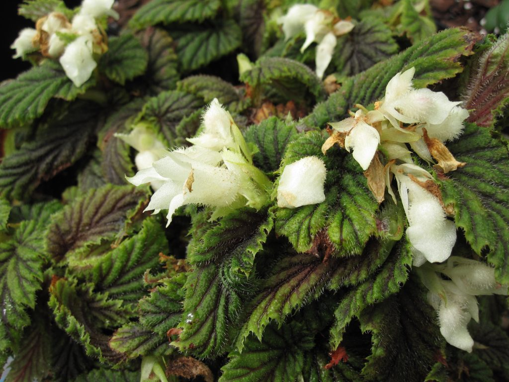 Habit of Begonia yapenensis in cultivation at RBGE.