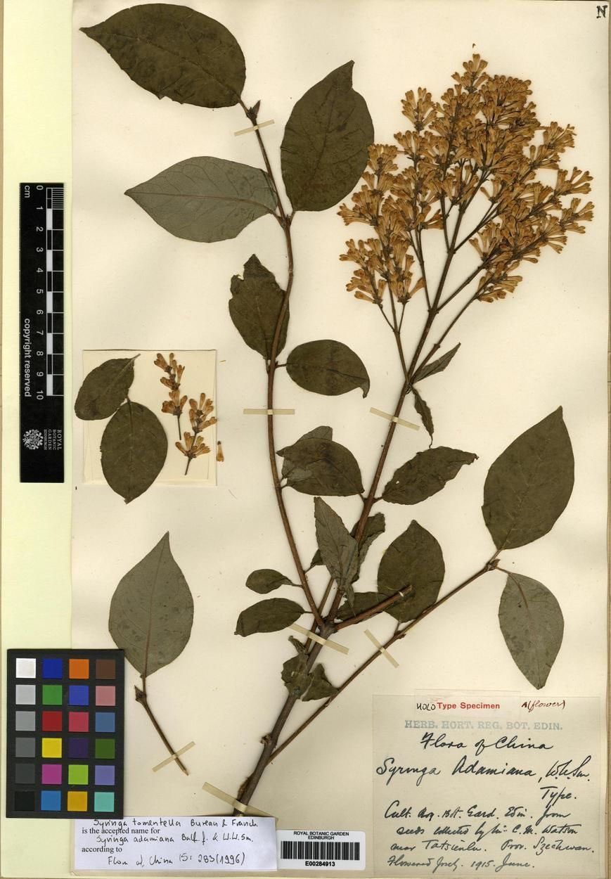 Syringa adamiana, now Syringa tomentella, as it appears in RBGE's Herbarium collection.