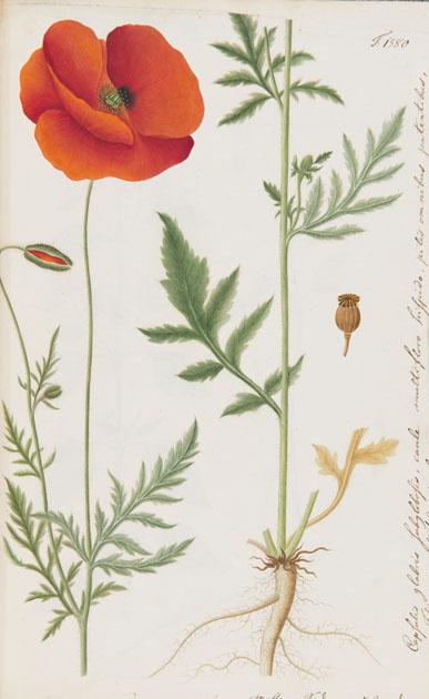 Papaver rhoeas frpom Oeder, G.C. / Hornemann, J.W. (ed). Flora Danica. V. 9. Haefte 27. T. 1580. (1818)