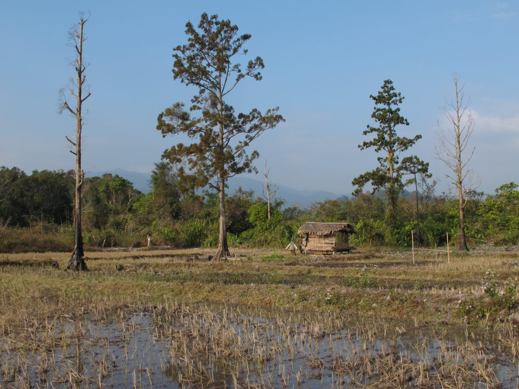 Remnant trees in a recently established paddy field