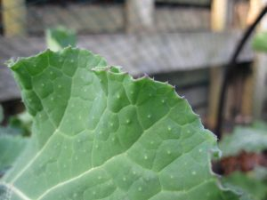 Sutherland kale leaf showing the tell tale hairs that suggest it is not a form of Brassica oleracea.