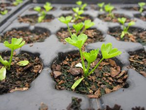 Celery seedling sown on 17th March 2015 as part of the Really Wild Veg growing trials.