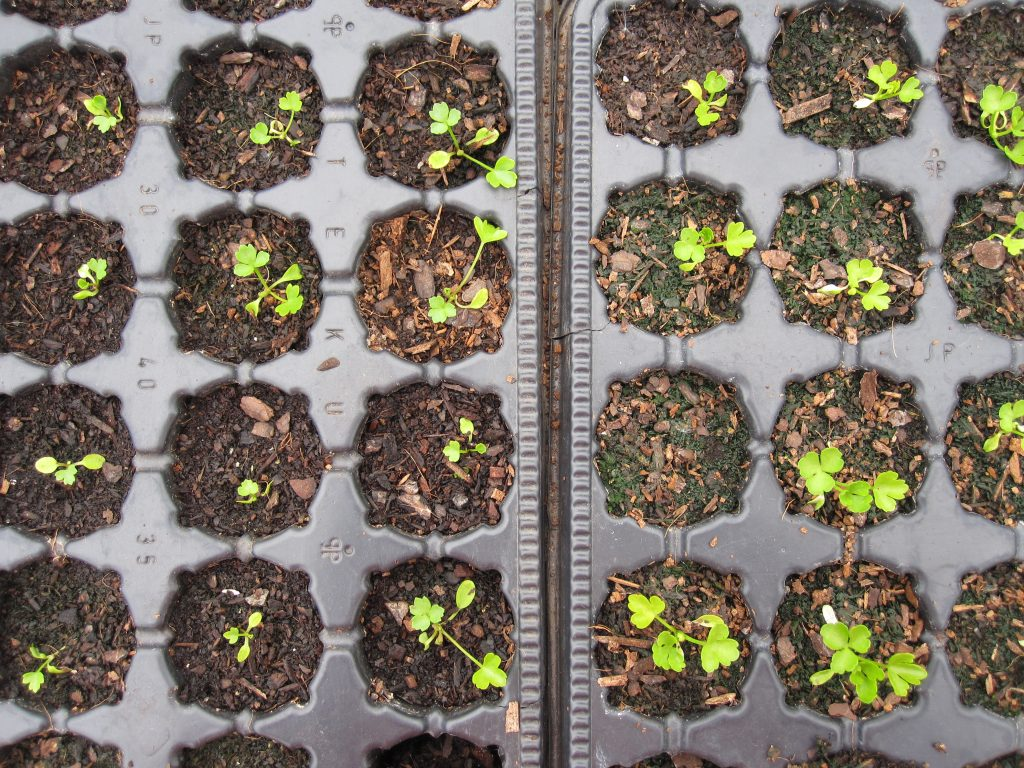 Celery seedlings after 10 weeks. These seedlings are slow to germinate and require indoor heat to get them going. The plants to the left are wild and the plants to the right are a heritage variety called 'Plein Blanc Dore Chermin.'