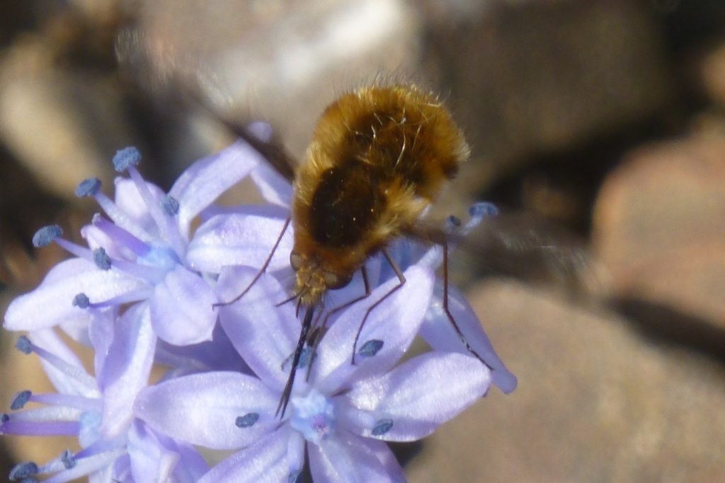 Greater Bee-fly (Bombylius major) hovering over Scilla bithynica, 10 April 2015. The 1/250 sec shutter speed was not fast enough  to freeze the motion of the hovering wings. Photo Robert Mill.