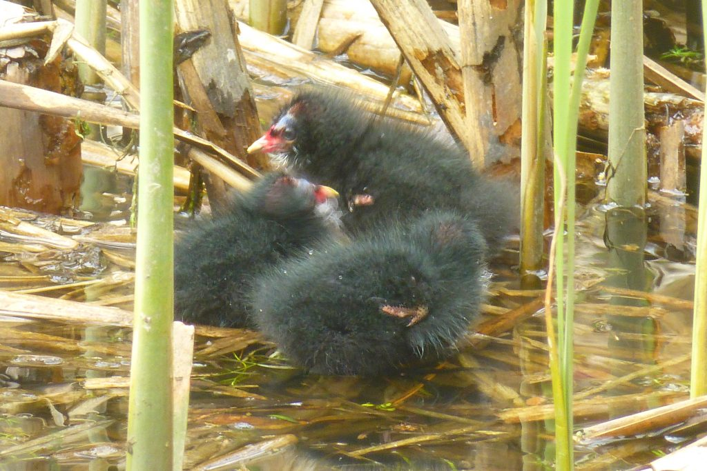 Three (of six) newly hatched Moorhen chicks, 20 April 2015. Photo Robert Mill.