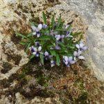 Viola spathulata