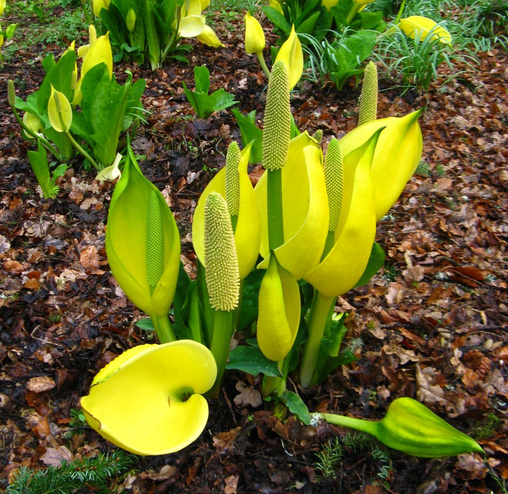 Skunk-cabbage (Lysichiton) photographed at Dawyck Botanic Garden. Image: S. Rae.