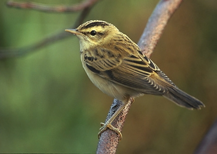 Sedge Warbler. One was heard singing by the Pond on 8 May. Photo Marek Szczepanek, source Wikipedia.