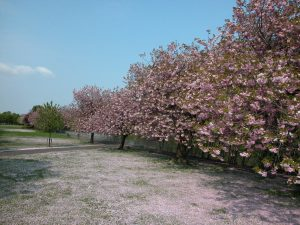 Cherry blossom trees by River Forth