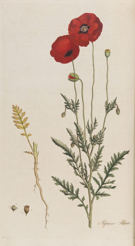 Papaver rhoeas from Curtis's Flora Londinensis. III: T. 32. 2nd edition. London (1817-1828)