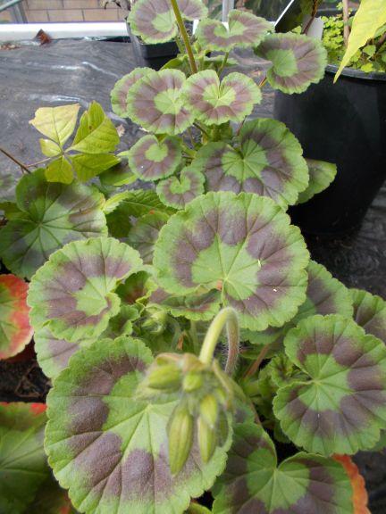 Geranium Zonal Pelargonium
