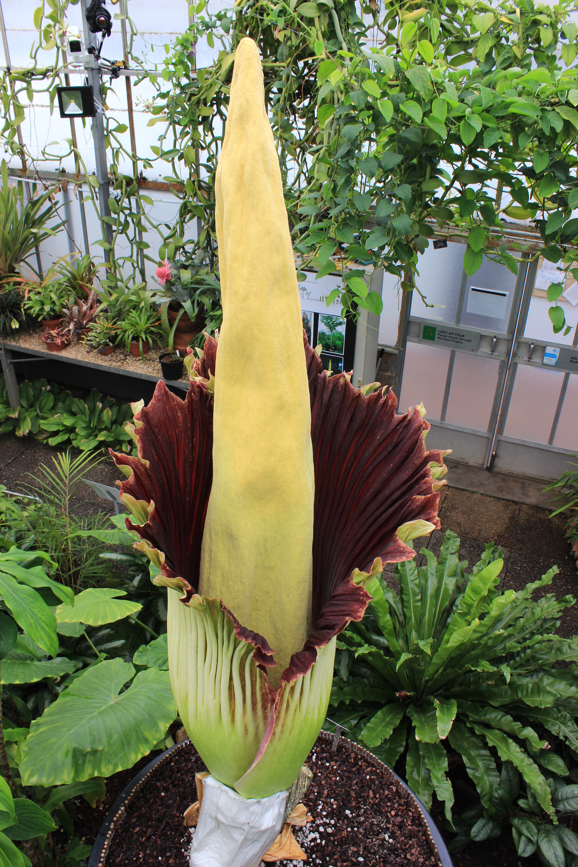 Titan arum in flower at the Botanics for the first time.