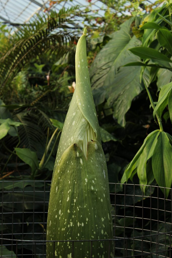 Titan arum showing a first glimpse of the flower (12th June) that is still largely hidden by a series of protective bracts.