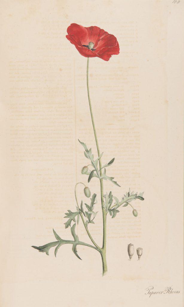 Papaver rhoeas from Nees von Esenback's 'Plantae medicinales. II' T. 166, Düsserldorf: Anstalt Arnz & Co. (1828)