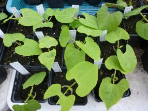 French bean seedlings