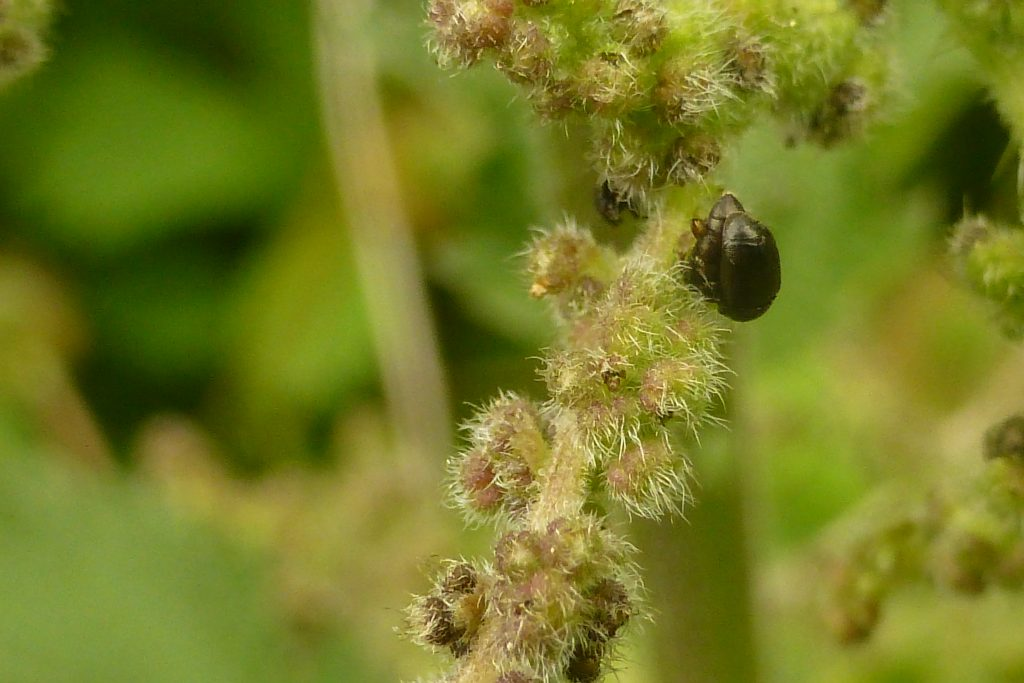 Nettle pollen beetles Brachypterus glaber on male flowers of Stinging Nettle Urtica dioica, 16 June - the 750th wildlife species to be recorded at RBGE