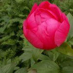 Paeonia 'Rose Garland'