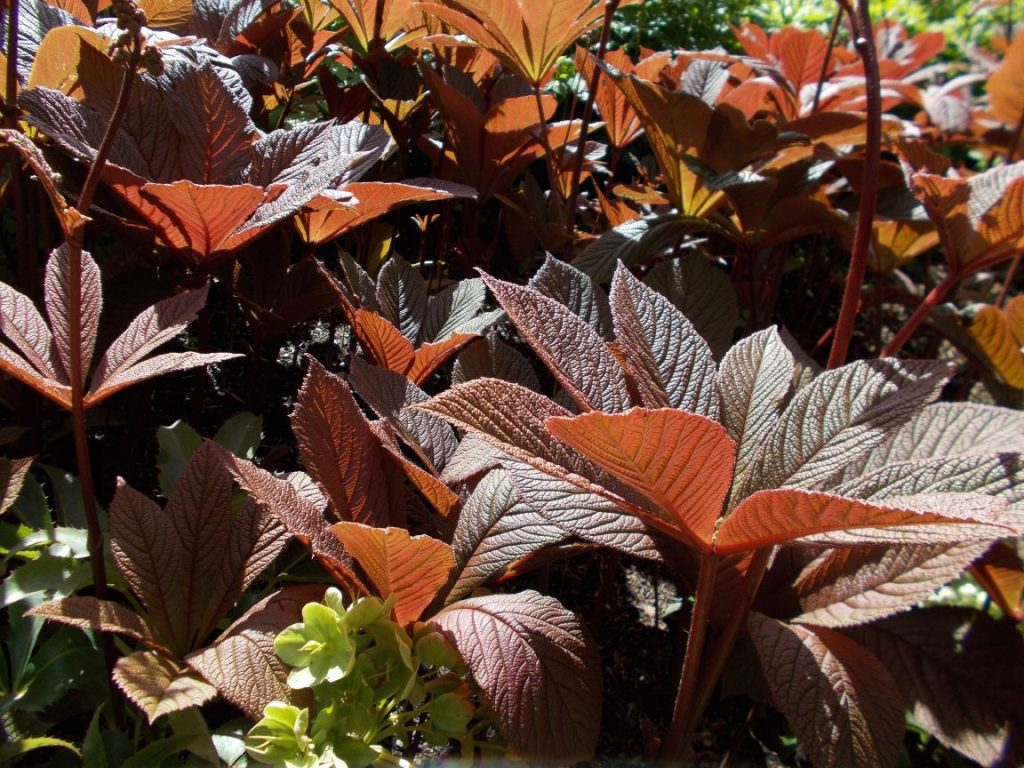 Rodgersia pinnata 'Irish Bronze'