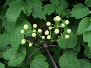 Clematis argentilucida still in bud