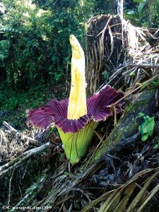Titan arum growing wild in Sumatra, Indonesia.