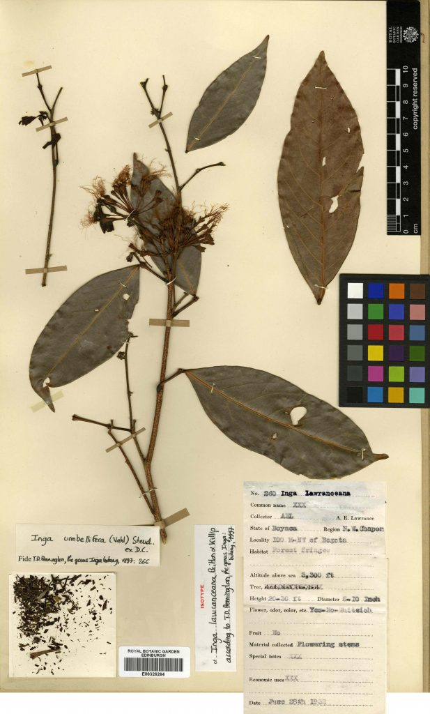 Digitized herbarium specimen of Inga umbellifera, collected by Lawrence in 1932