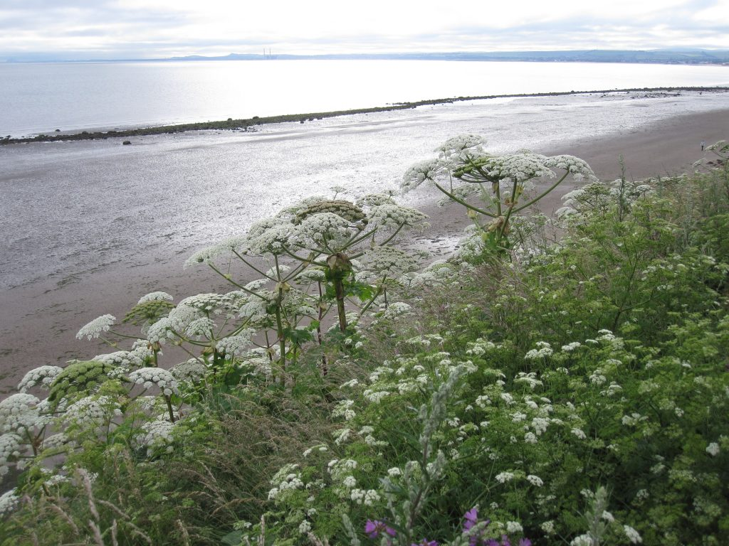 Giant hogweed on the slopes leading down to the sea at Seafield.