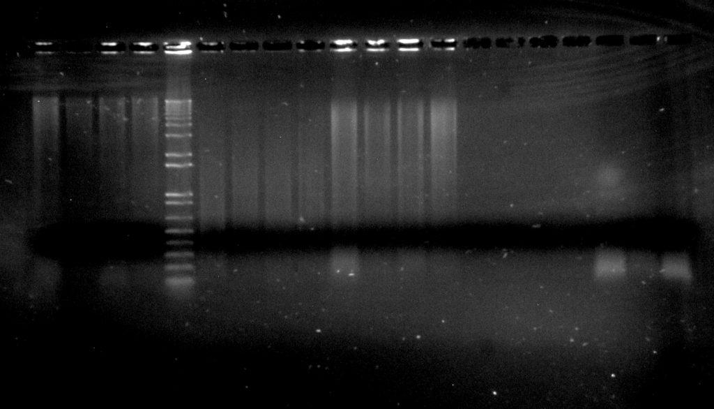 Inga umbellifera DNA: 16L-145 2009 silica (4 lanes); Invitrogen 1kb ladder; Dexter 2004 herbarium (4 lanes); 16L-145 2009 herbarium (4 lanes); Hostmann 1840 (4 lanes); FDGB 1948 (3 lanes)