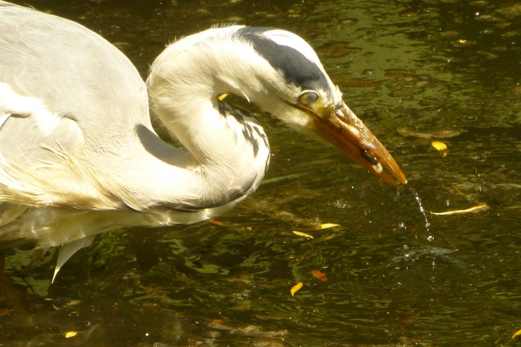 Snack time for the Garden's Grey Heron, 10 June 2015. Photo Robert Mill.