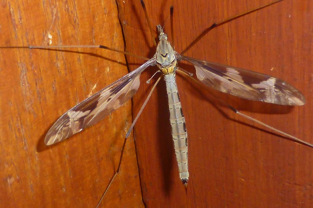 Crane-fly Tipula maxima on outside of back door of herbarium building, 29 June 2015. Photo Robert Mill.