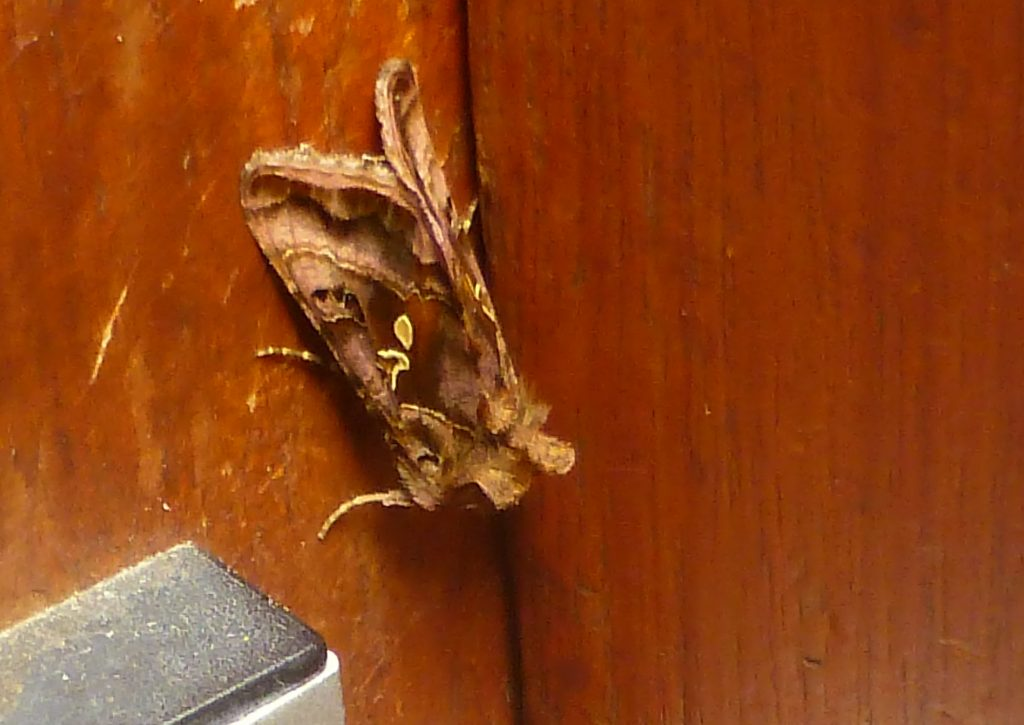Plain Golden Y Autographa jota, on herbarium back door, 29 June 2015. Photo Robert Mill.