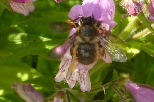 Wool Carder Bee, Anthidium manicatum, visiting Penstemon in Rock Garden, 3 July 2015. Photo Robert Mill.