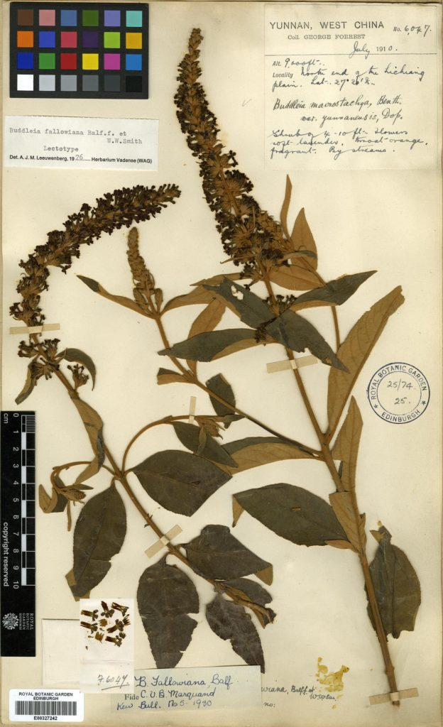 One of George Forrest's Buddleia fallowiana herbarium specimens, this one collected north of Lijiang, Yunnan, in July 1910.