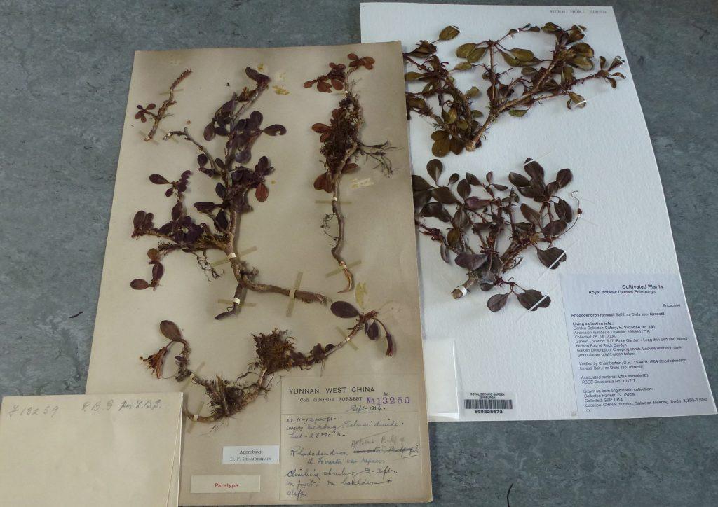 Herbarium specimens of Rhododendron forrestii Forrest 13259