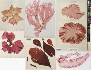 Top row: Polyneura bonnemaisonii, Nitophyllum punctatum & Porphyra umbricalis. Bottom row: Kallymenia reniformis, Dilsea carnosa & Wildemania miniata.