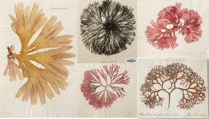 Clockwise: Palmaria palmata, Furcellaria lumbricalis, Polyneura bonnemaisonii, Scinaia interrupta & Chondrus crispus.