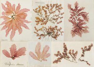 Top row: Delesseria, Gastroclonium, Phycodrys. Bottom row: Phycodrys, Delesseria & Gastroclonium.