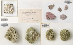 Top row: Phymatolithon calcareum & Lithothamnion glaciale. Bottom row: Phymatothamnion purpureum & Lithothamnion glaciale.