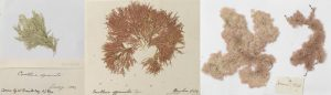 Left to right: Ellisolandia elongate, Corallina officinalis & Jania rubens.