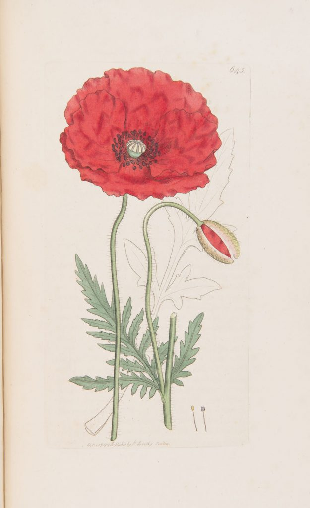 Papaver rhoeas from J. Sowerby's 'English Botany', v9: T.643, London (1799)