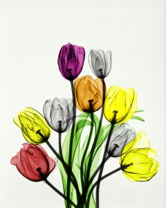 Tulips by Arie van't Riet, part of Photosynthesis exhibition.