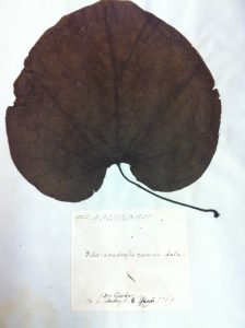 Aristolochia 1781 leaf morphology