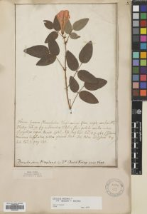 Clitoria mariana - the 300,000th specimen to be imaged