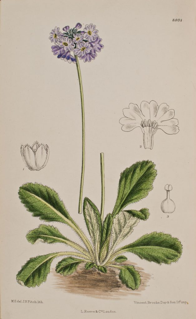 Primula bellidifolia from Curtis's Botanical Magazine, 8801, v.145, 1919.