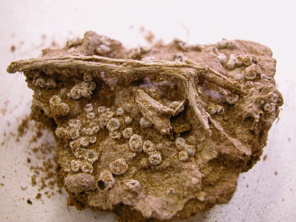 Monocarpus specimen collected by Carr, photographed by Chris Cargill