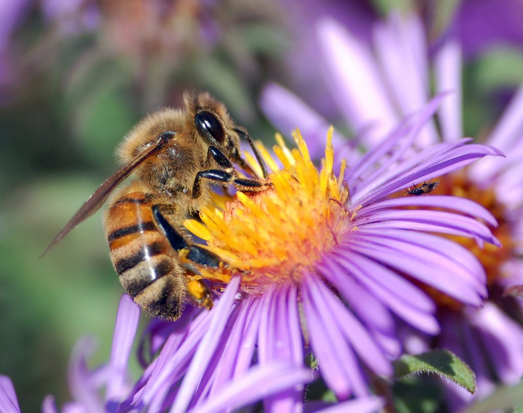 Honey bee on Aster.